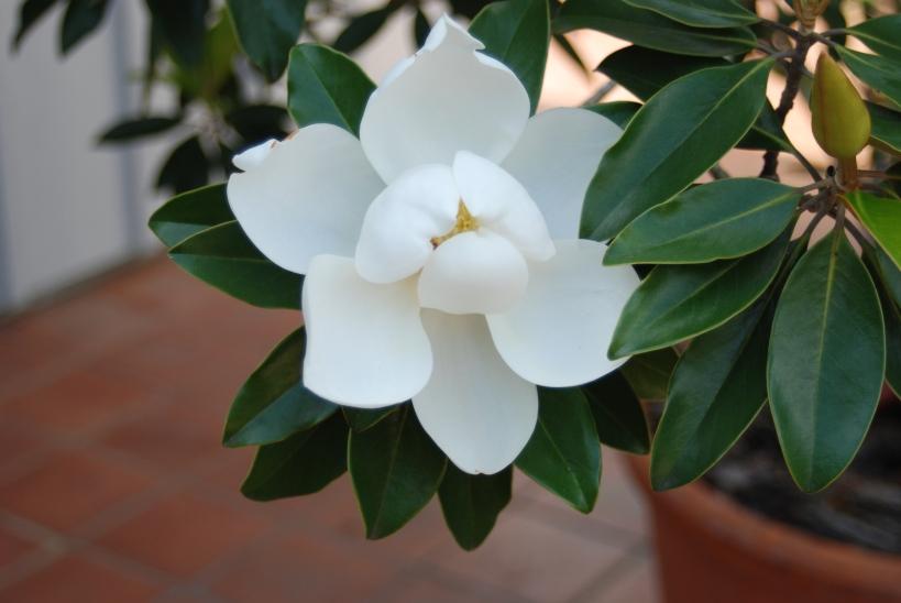 Potted Tree Gardenia