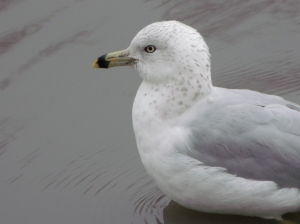 Salt Lake City Sea-Gull