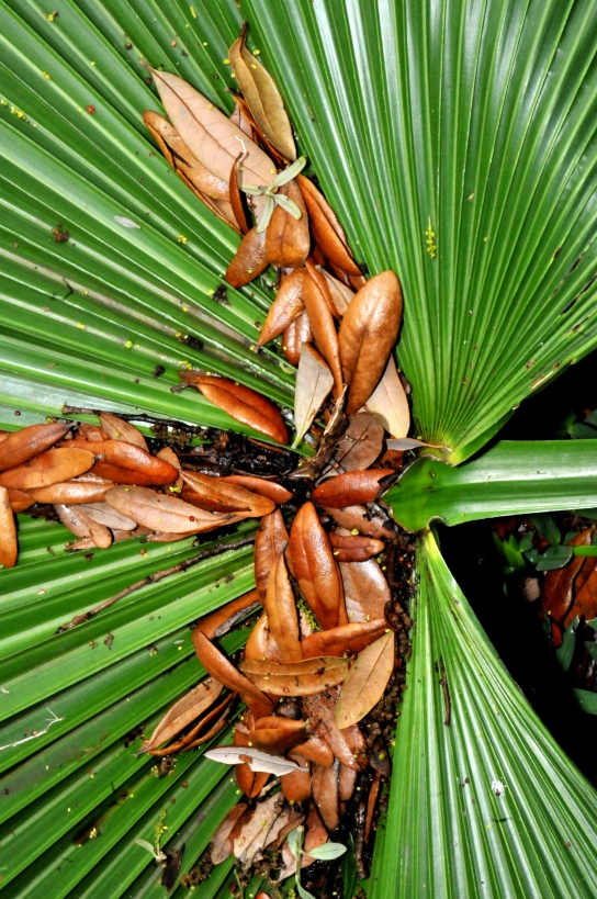 Fan Palm Frond with Oak Leaves