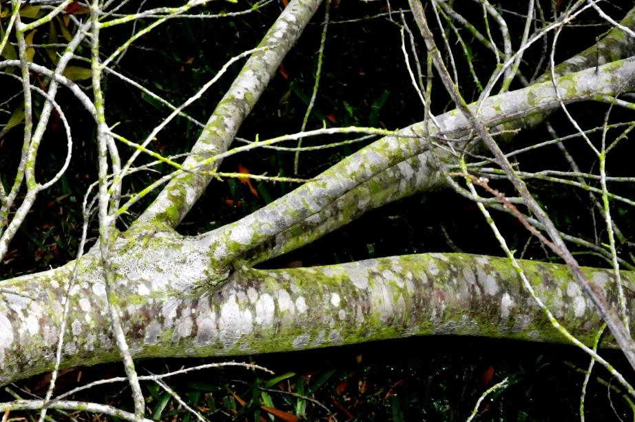 Wax Myrtle Limbs