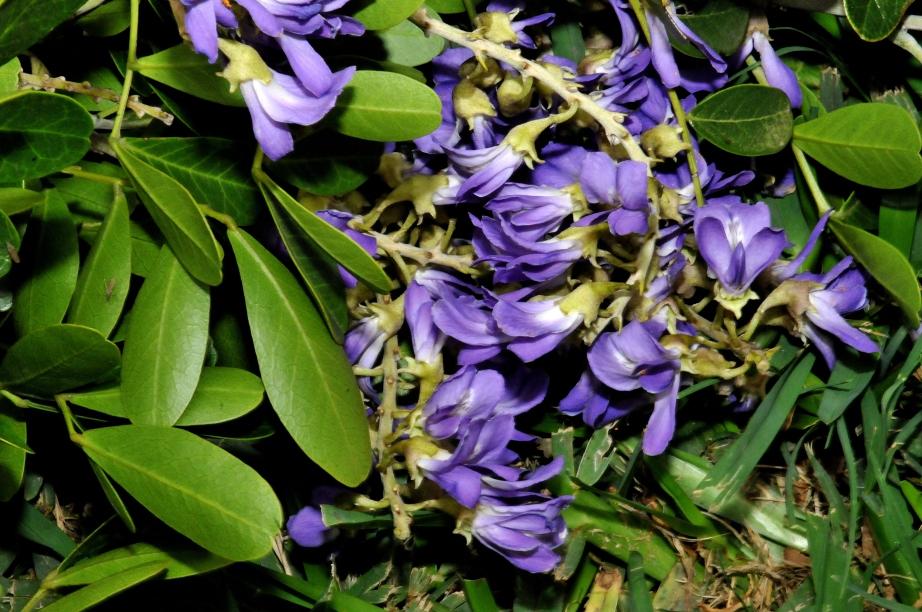Mountain Laurel Blossom
