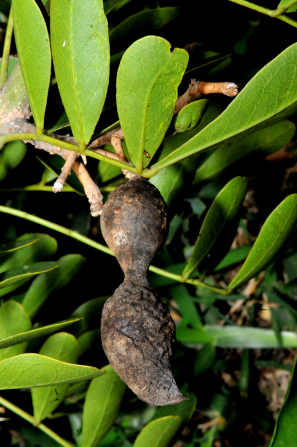 Mountain Laurel Seed Pod~Several Years Old