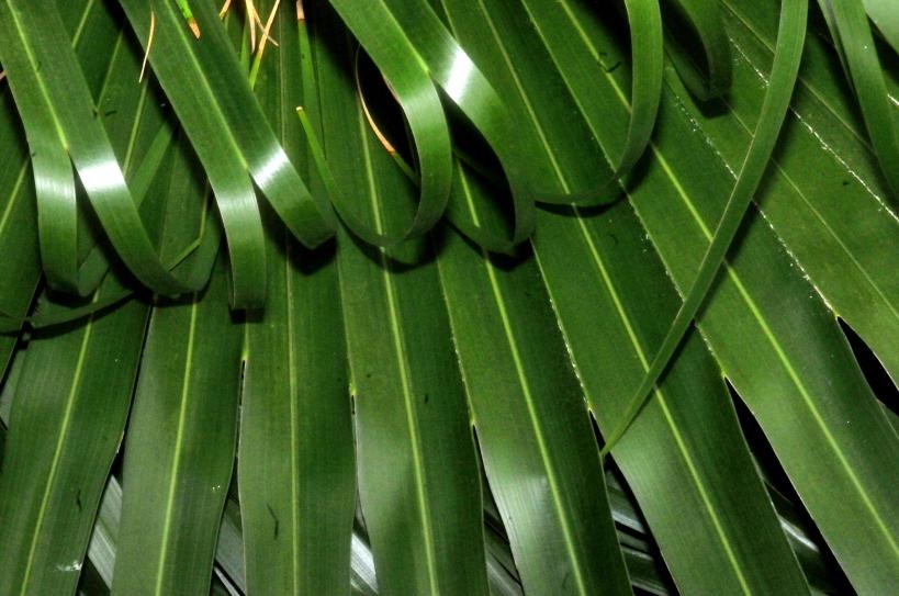 Pile of Fan Palm Leaves