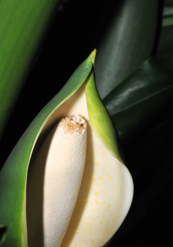Philodendron Blossom