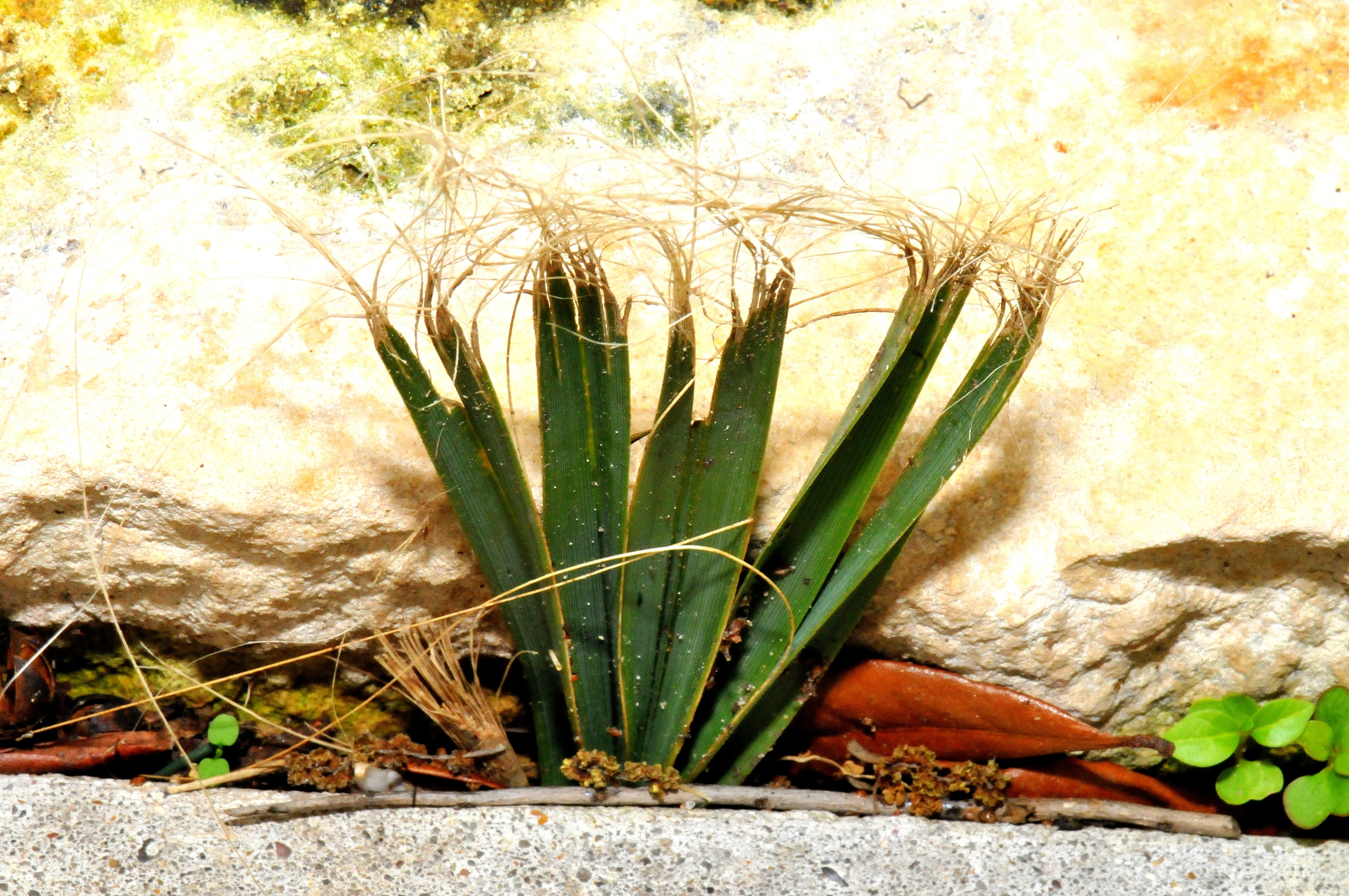 Tiny Fan Palm Growing From A Stray Seed