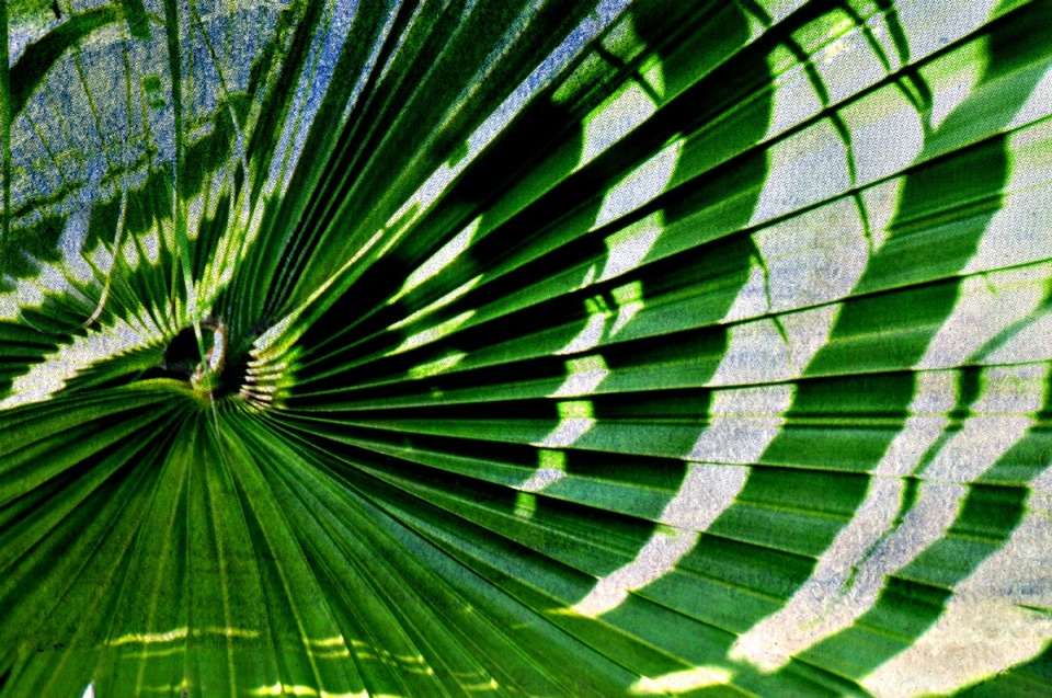 Light Shadow Fan Palm