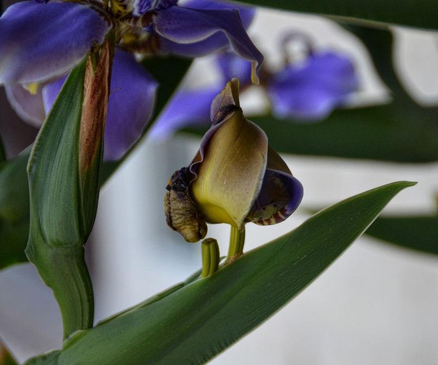 Iris-Bird-1250