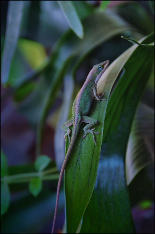 Anole-on-staghorn-1200
