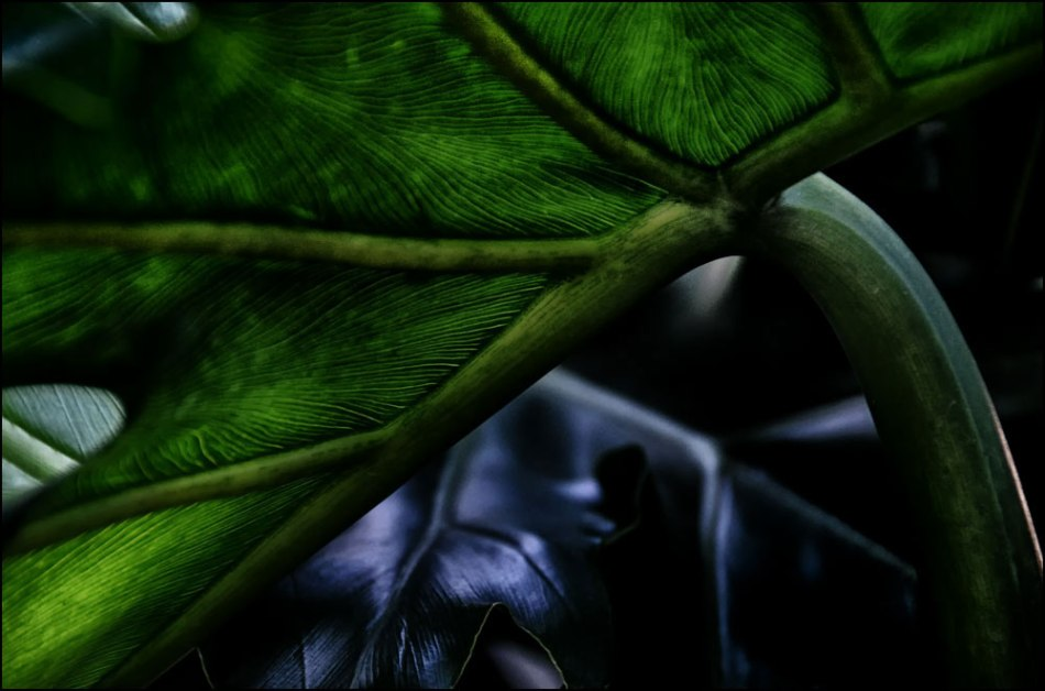 Philodendron-Dark-1000