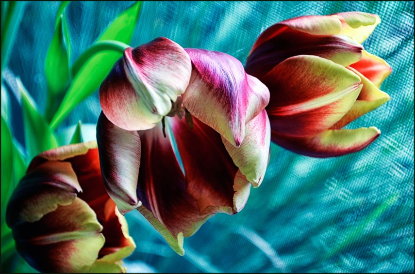 Three-tulips-post-1200