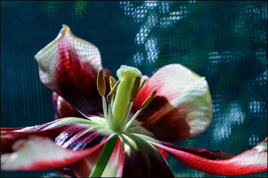 Tulip-open-day-1200