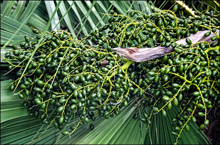 Fan-Palm-Bract-Berries-1200