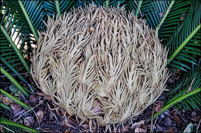 Sago-Palm-Blossom-1200