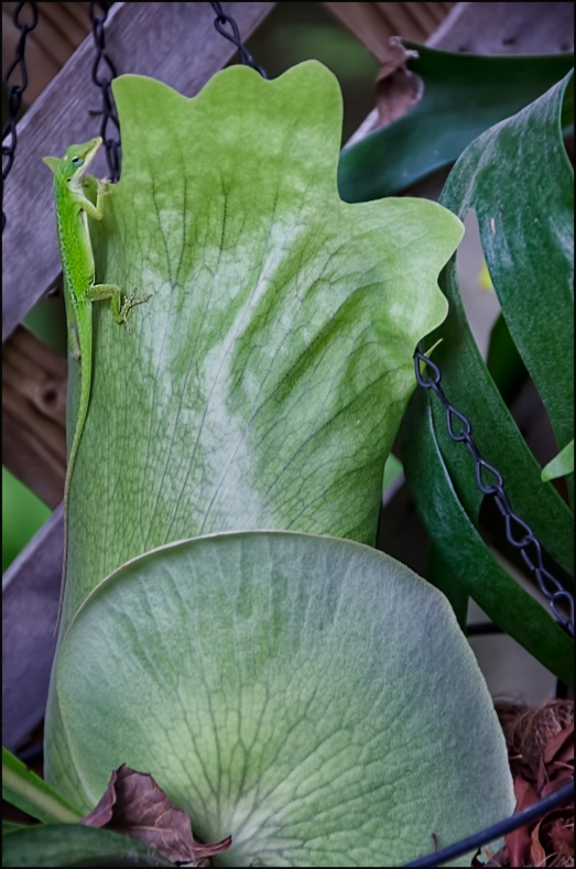Anole-on-Staghorn-Fall-1200