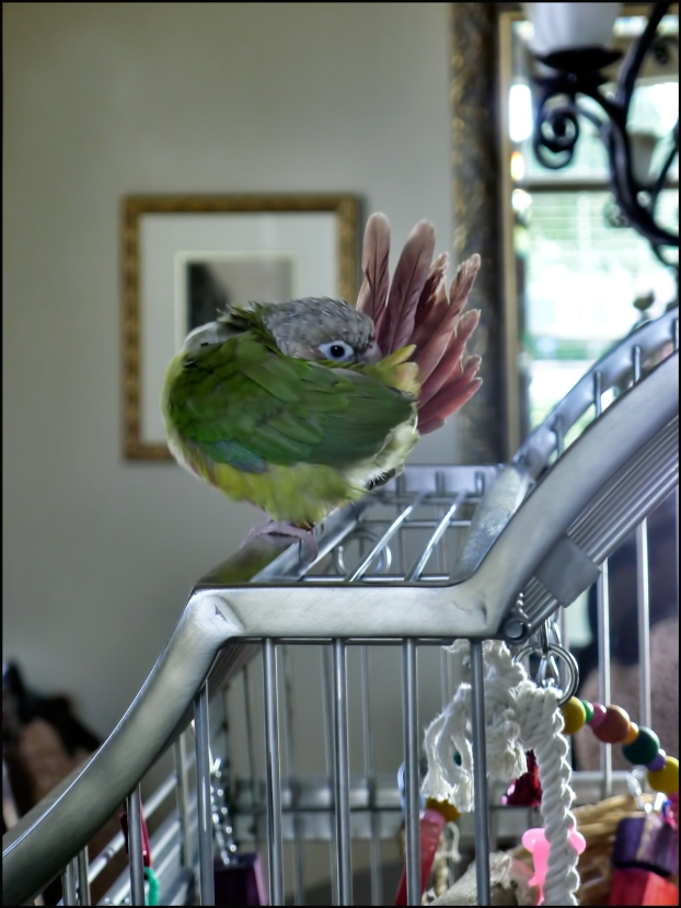 Cheek-Preening-on-Cage-Top-1200