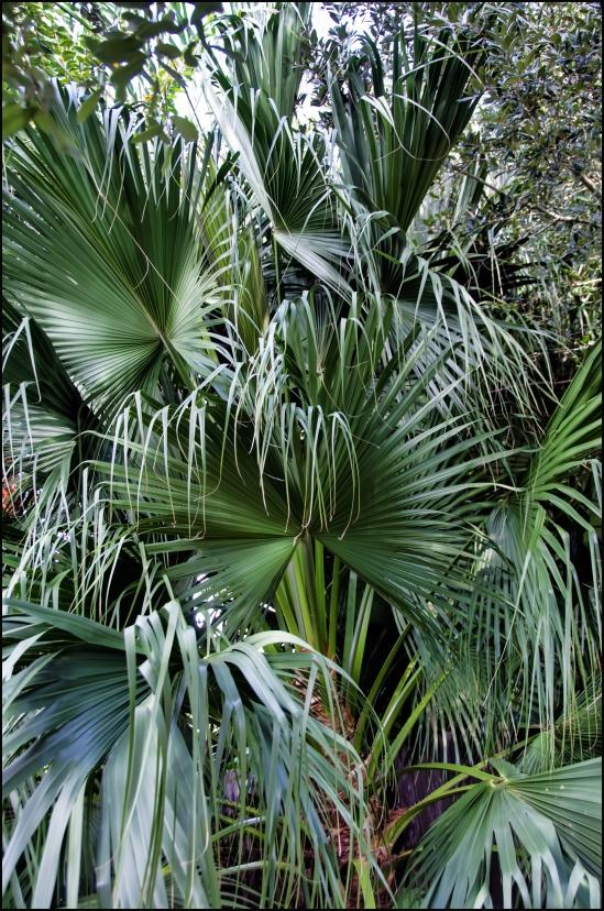 Fan-Palm-tree-Single-1200