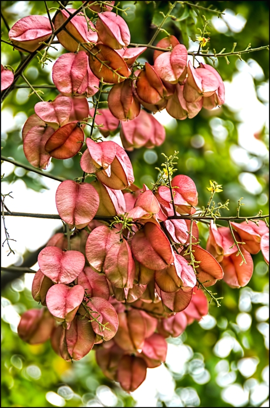 Hanging-Raintree-blossom-1200