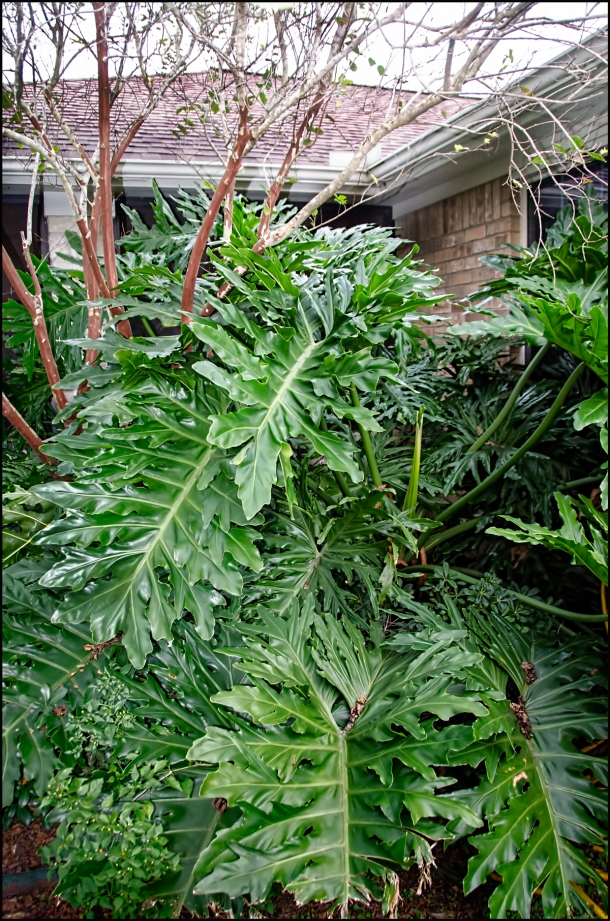 Philodendron-at-porch-1200