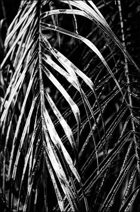 Pygmy-Leaves-Ice-BW