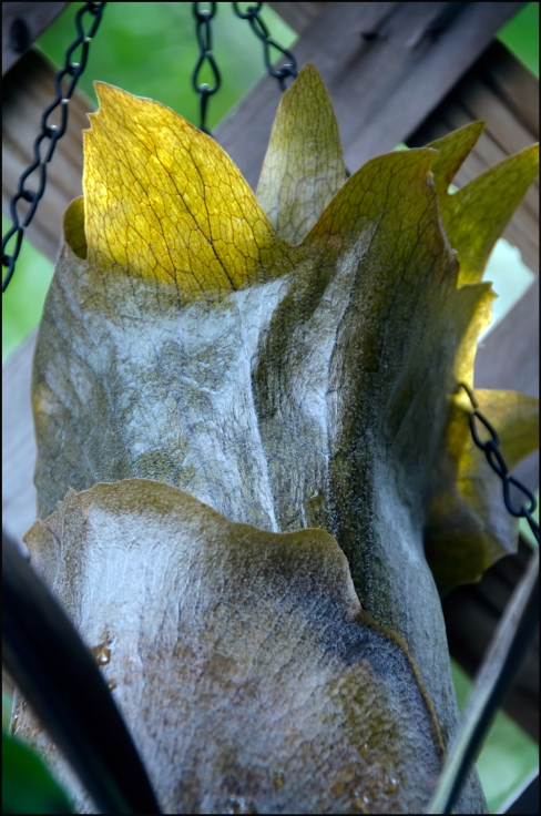 Staghorn-Leaf-Frozen