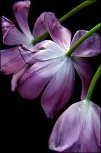 Drama Tulips