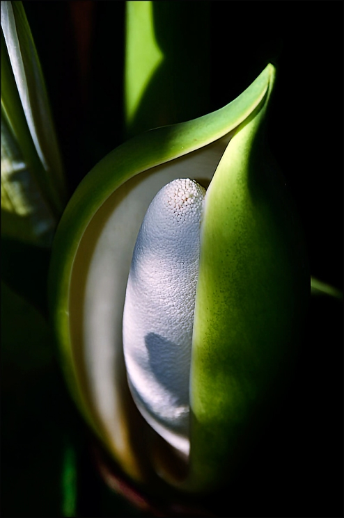 Philodendron-Bract-color-H-1200