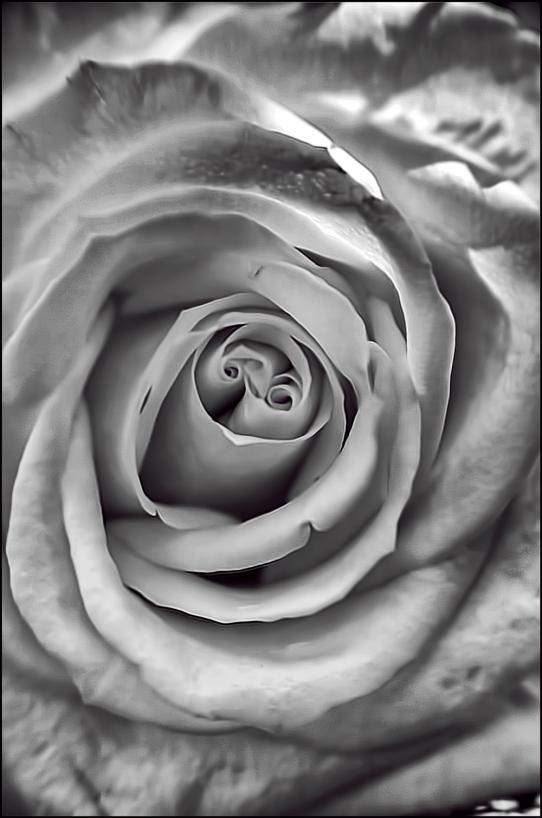 Rose-details-BW