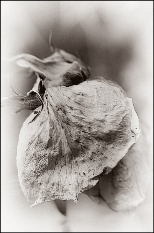 Pointy-rose-sepia