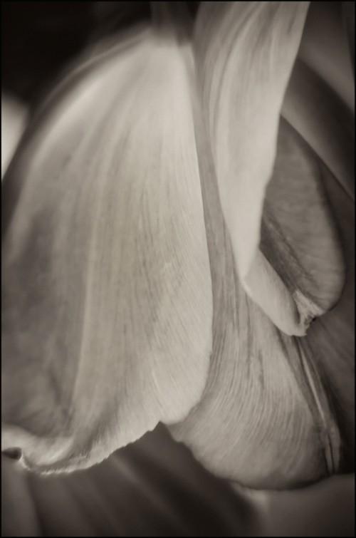 Rose-Sepia-Petals