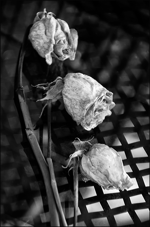 Roses-three-BW