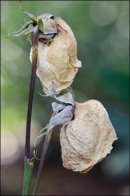 Two-Roses