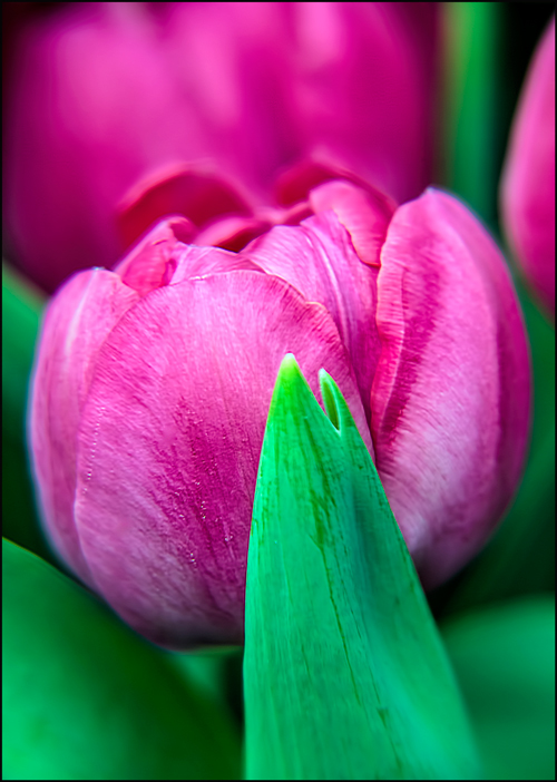 Tulip-Color-II