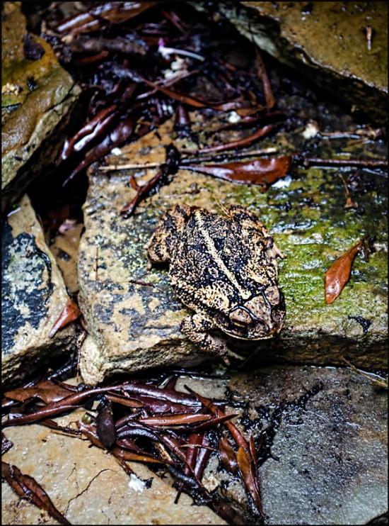 Camo-Frog-II-1200
