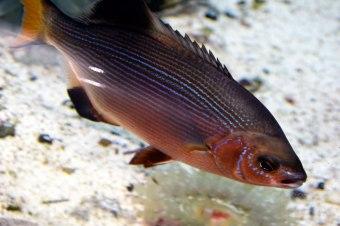Fish-pink