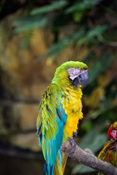 Parrot-hybrid-pair