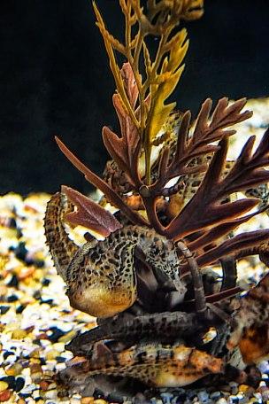 Seahorse-Pregnant