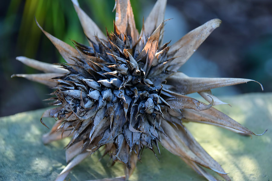 Bromeliad-dried