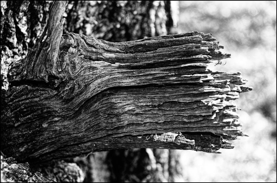 Tree-limb-dead